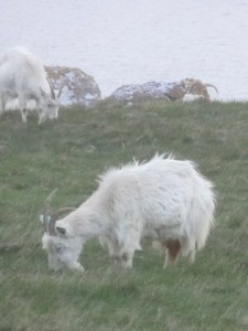 goats-2013-05-15 20.32.30-cropped