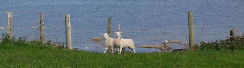 lambs-2013-05-19 17.16.42-cropped